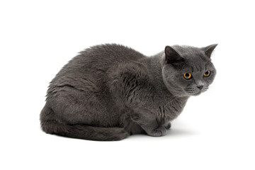 gray cat breeds Scottish Straight isolated on white background