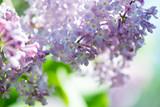 Lilacs - 137086425