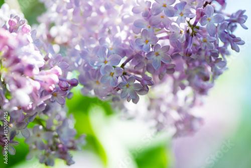 Lilacs Plakat