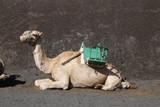 Camel Ride Lanzerote