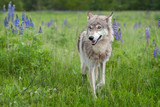 Grey Wolf (Canis lupus) Steps Forward With Ears Back