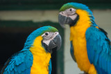 Breeding of exotic blue and yellow macaws in aviaries