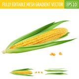 Corn on white background. Vector illustration