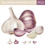 Garlic on white background. Vector illustration