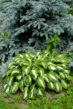 Khosta (Funkiya) wavy (Hosta undulata (Otto et Dietr. (Bailey)), a grade of Univittata against the background of a blue Canadian fir-tree