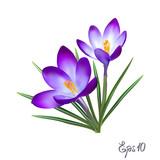 Fototapety Crocus flowers. Elegant vintage card.