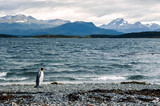 King penguin walking on the shore near Ushuaia, mountains in the background