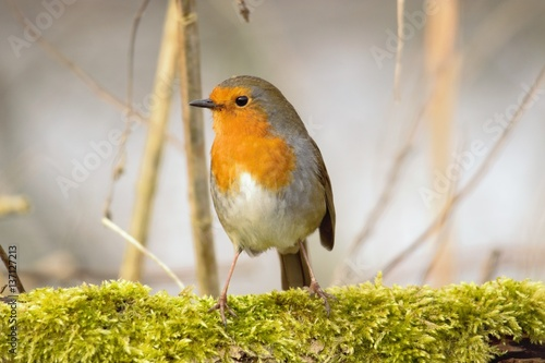 Poster Robin on Moss