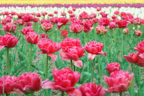 Aluminium Candy roze チューリップ (北海道上湧別町)