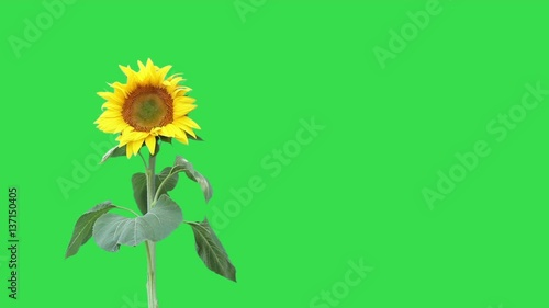 Video of a sunflower swaying in the breeze, isolated on a green background