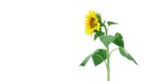 Video of a sunflower swaying in the breeze, isolated on a white background.