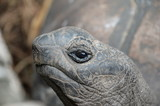 Giant tortoise on the La Digue island of the Seychelles