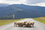 Sheep flock on the road. Altai, Russia