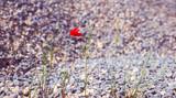 A poppy flower among the gravel.