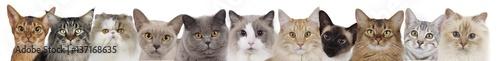 Różne koty głowy z rzędu