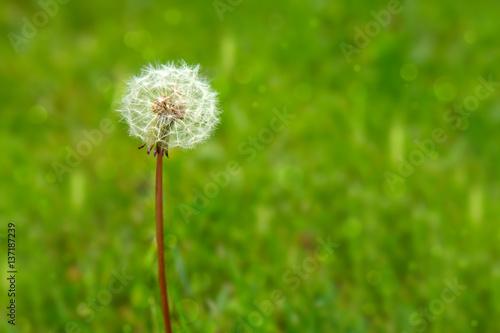 One dandelion on green background.