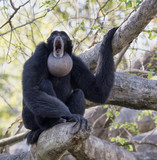 Black furred siamang with inflated throat pouch engaged in morning howling