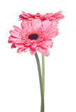two pink gerbera flowers on white background