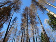 dead spruce forest and blue sky, dry spruce trees,