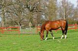 Brown, black and white horse eating fresh green grass in spring.
