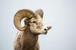 Wild Bighorn Ram against grey neutral background