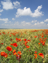 red poppies in the field under white clouds in summer day