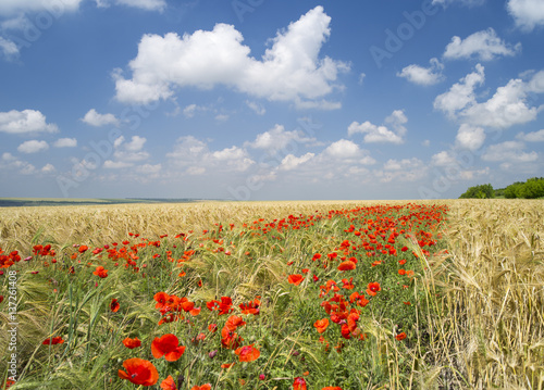 red poppies in summer day in center of wheat field