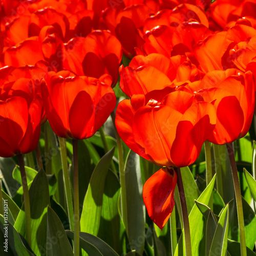 Fotobehang Rood Tulips in Dutch public Spring flower Garden Keukenhof Lisse, Zuid Holland, NLD