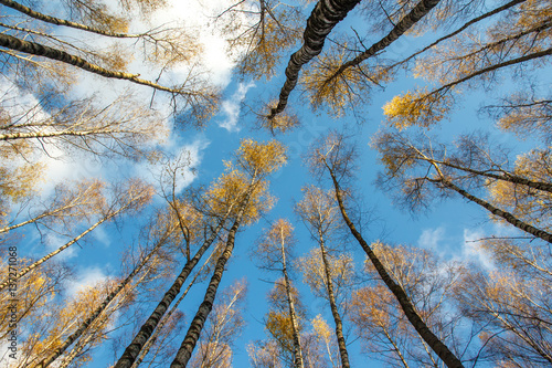 autumn birch forest with yellow leaves on blue sky background, from the bottom up