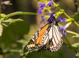 Monarch Butterfly Feeding on Purple Salvia