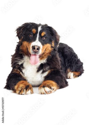 Deurstickers Franse bulldog Bernese Mountain Dog on a white background