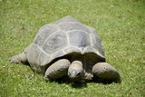 Details of wild galapagos tortoise and green grass