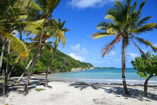 palmier sur la plage au bord de mer en guadeloupe Poster