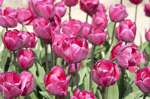 Foto op Aluminium Roze Pink tulips from the Netherlands