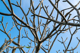 branches of plumeria (shed leaves) on blue sky.