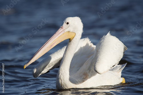 Poster An American White Pelican swims in the bright blue water with its wings up in an awkward pose on a sunny day