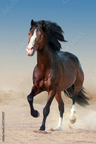 Fototapeta Beautiful bay horse with long mane run gallop in dust