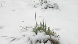 Grass growing out of snow