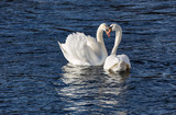 Two elegant white Swans mating in spring.