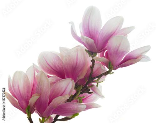 magnolii-menchii-kwiatow-okwitniecie-odizolowywajacy-na-bialym-tle
