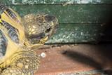 Tartaruga terrestre a giro per il cortile