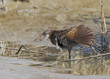 Clapper rail (Rallus crepitans) showing wing, Bolivar Peninsula, Texas, USA