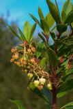 Corbezzolo (Arbutus unedo) - ramo con fioritura