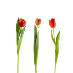 Rote Tulpen auf Weiß