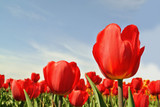 Tulips. View of red tulips flowers under sunlight. Summer or spring field background