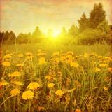 Grunge image of dandelion field at sunset.