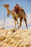 Camel for tourists in Egypt