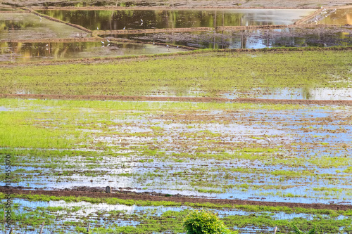 Fotobehang Fields with crops of rice in Sri Lanka