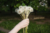 White dandelion in a female hand on a green background. Summer flower