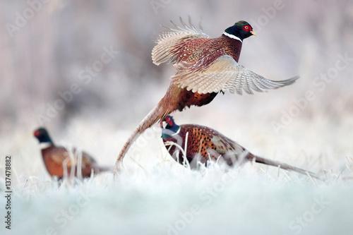 Pheasant - 137478882